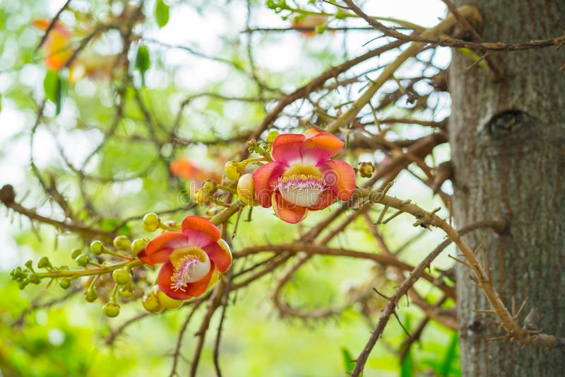 Cannonball drzewa kwiatów Couroupita guianensis Sal kwitnie, Sal obraz royalty free