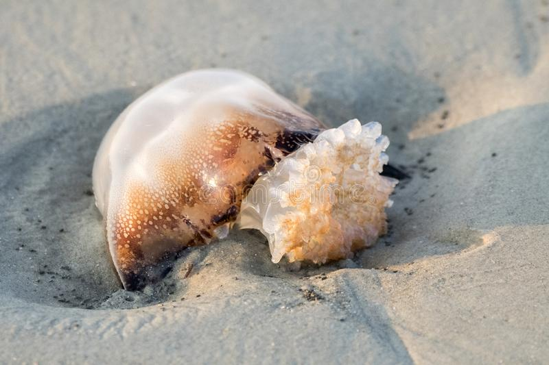 Cannonball Jellyfish Washed Up On Hilton Head Island Beach