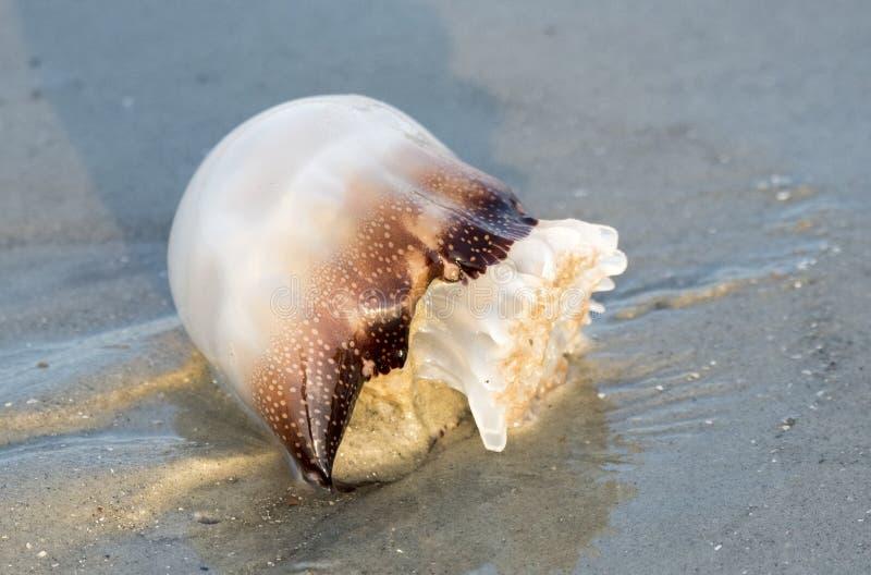 Cannonball Jellyfish Washed Up On Hilton Head Island Beach