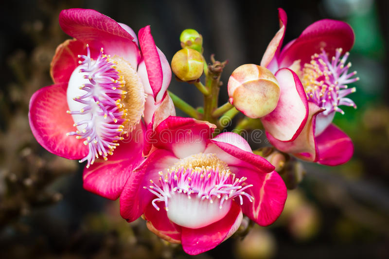 Cannonball tree flower (Couroupita guianensis) stock images