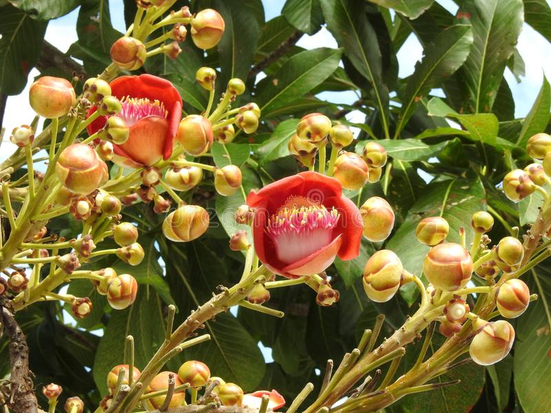 Cannonball tree flower couroupita guianensis with many buds and green leaves stock photos