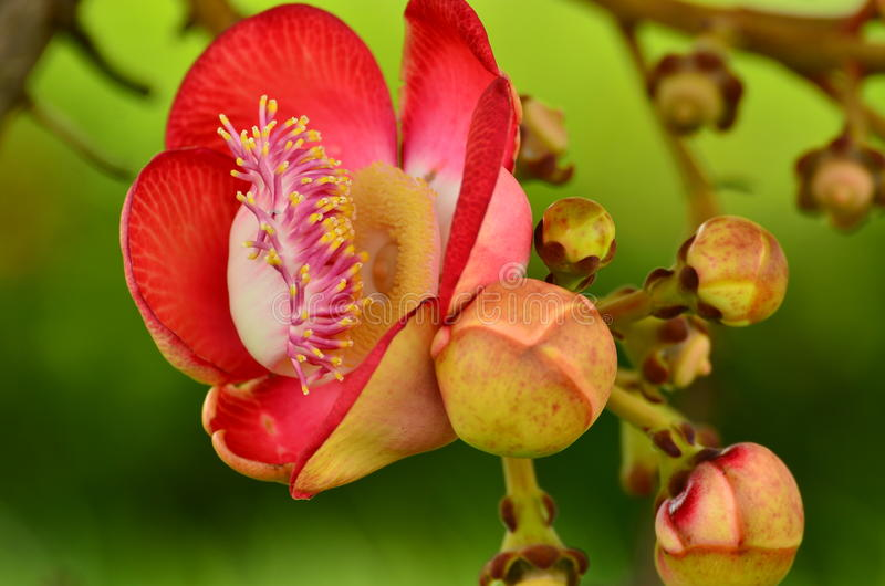 Cannonball tree flowers. Beautiful close-up of Cannonball tree flowers (Couroupita guianensis royalty free stock images