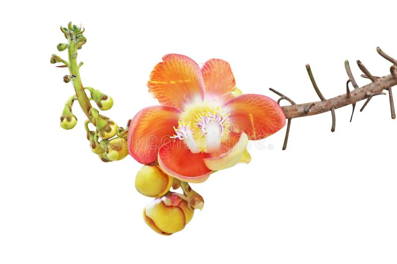Cannonball tree flowers or Shorea robusta isolated on white background with clipping path,Couroupita guianensis royalty free stock photography