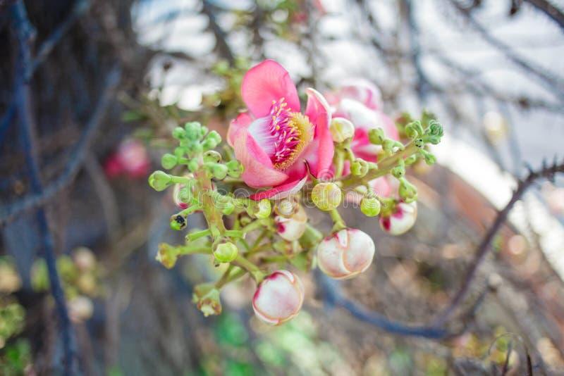 Cannonballblomma (Sala Flower) arkivbild