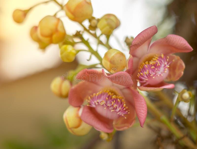 Cannonballblommor, frukt är runda som en boll eller uthärda Ljusa färger är blomningen, närbild arkivbilder