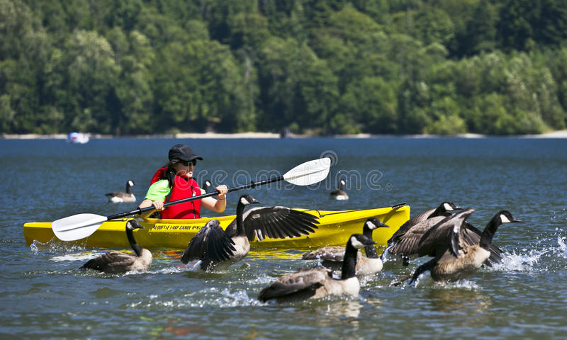Canoeing com gansos imagens de stock royalty free
