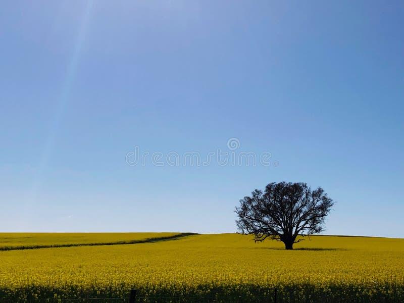Canola śródpolny Australia zdjęcia royalty free