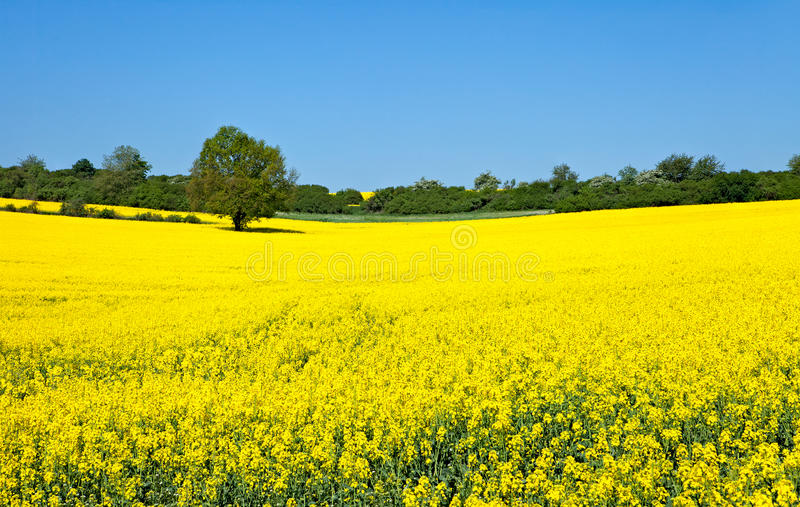 Canola. Yellow Canola field with tree stock images