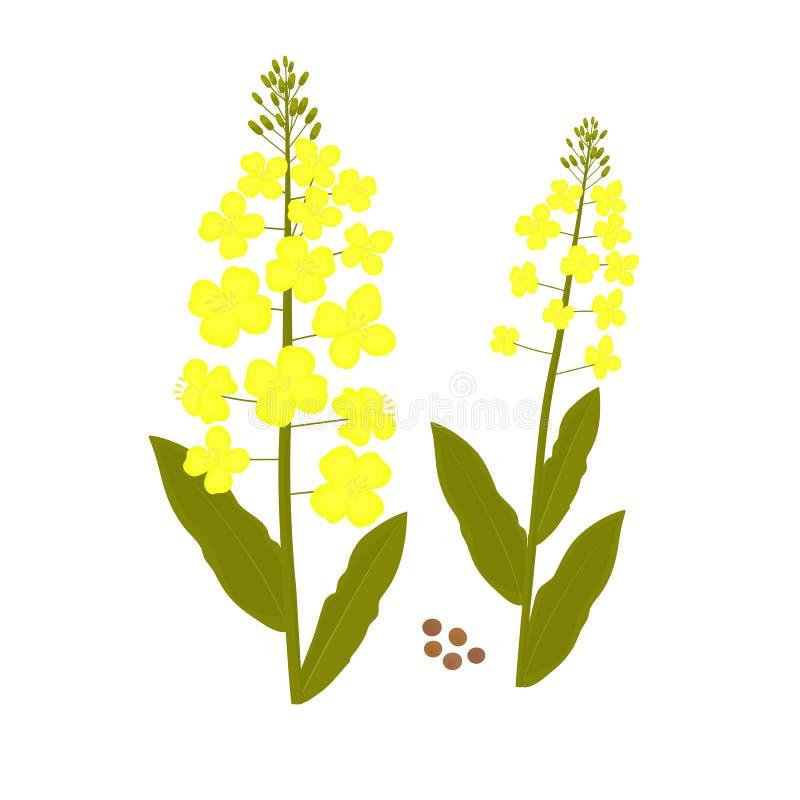 Canola blomma Våldta växten och kärna ur vektorillustrationen stock illustrationer