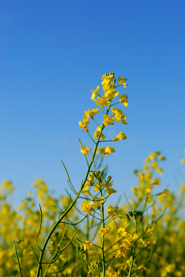 Canola Blume lizenzfreies stockbild