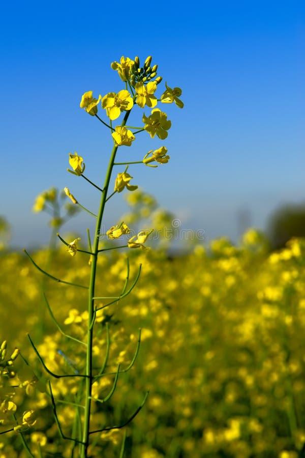 Canola Blume auf dem Gebiet stockfotos
