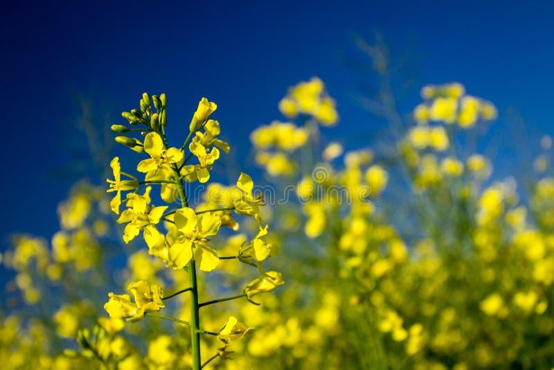 Canola Blumenblühen und blauer Himmel stockbilder