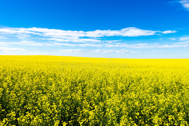 Canola crop farm field during summer stock photography