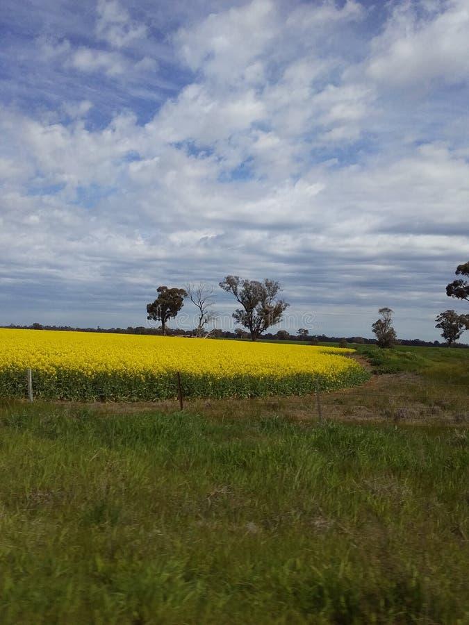 Canola Crop in Field fotografering för bildbyråer