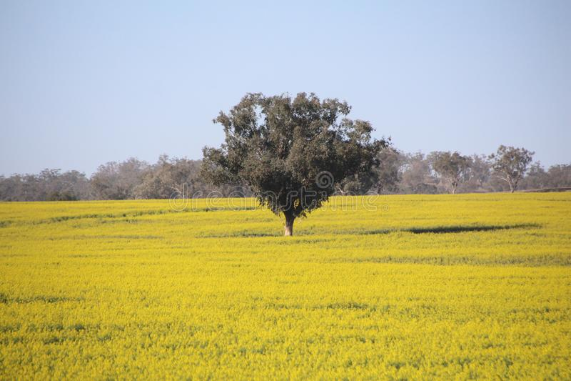 Tree in Field With Yellow Canola Crop. The canola crop is thriving and the color is beautiful yellow. Canola is used for many things like cooking, oils, sun stock photos