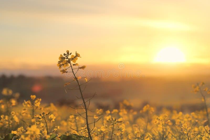 Canola de oro de la salida del sol foto de archivo