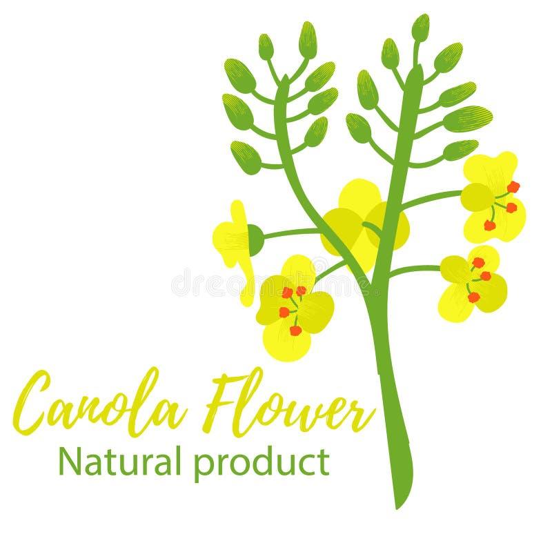 Canola del fiore del Canola Colori gialli e verdi illustrazione vettoriale