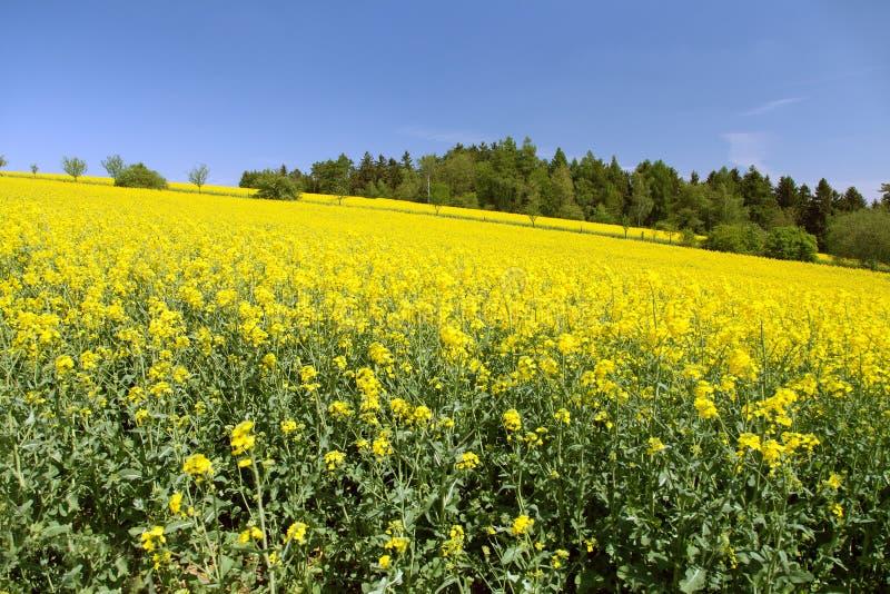 Canola del seme di ravizzone o giacimento della colza in brassica napus latino fotografie stock libere da diritti