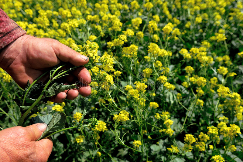 Canola in der Landwirt-Hand lizenzfreies stockbild
