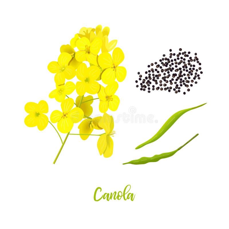 Canola eller rapsfrö blommor frö, blad Rapsfr?blomning som isoleras p? vit Brassicanapus Att blomma våldtar gult royaltyfri illustrationer