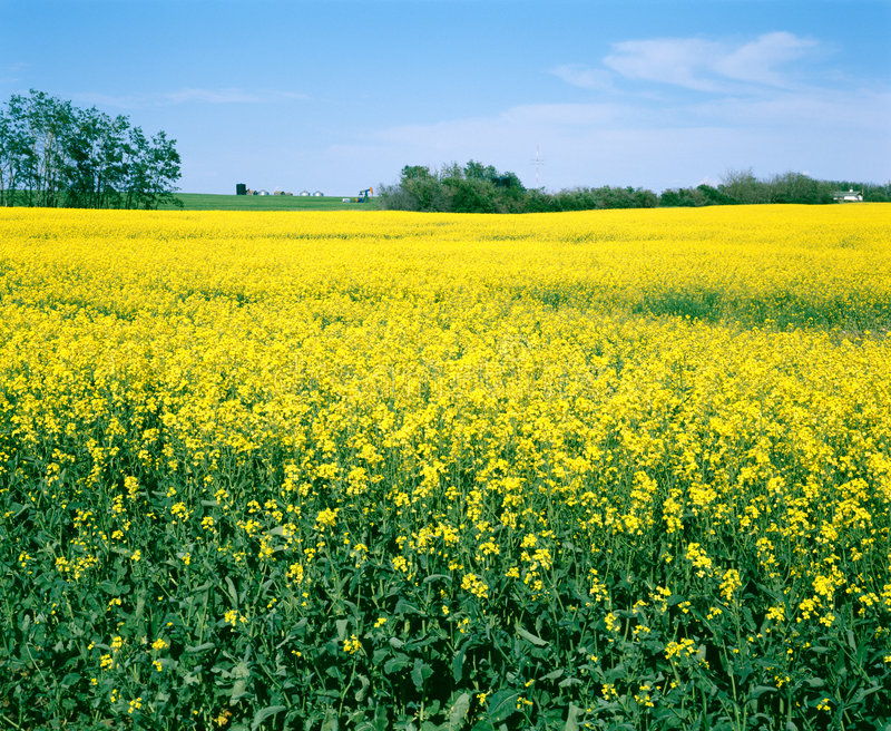 Download Canola Farm Field, Saskatchewan Canada Stock Photo - Image: 2270222