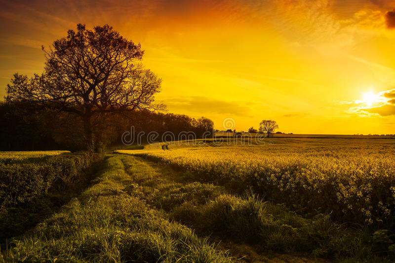 Canola Feld am Sonnenuntergang lizenzfreie stockbilder