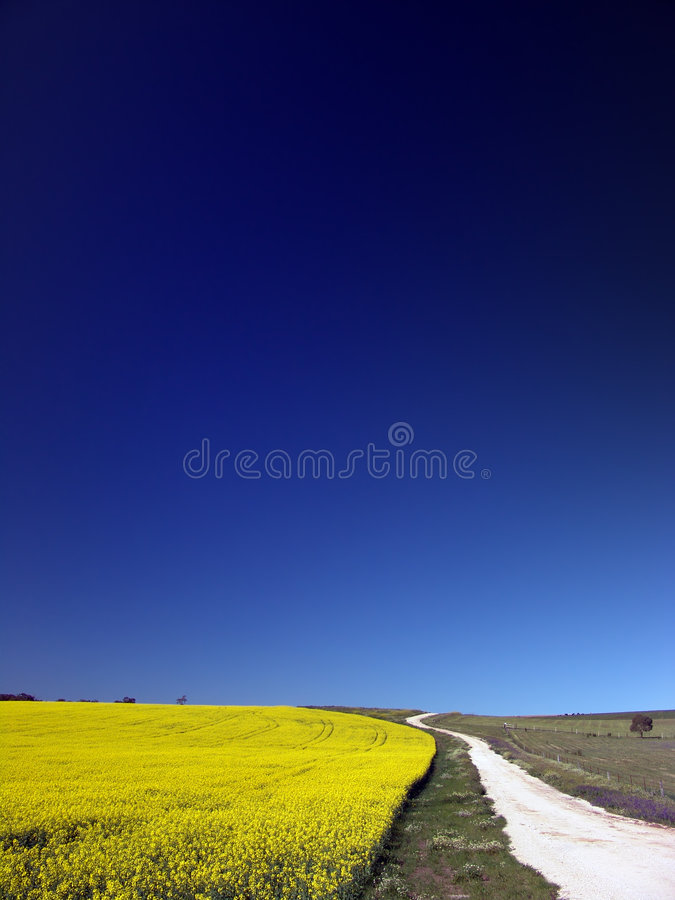 Download Canola Field Stock Photo - Image: 1221700