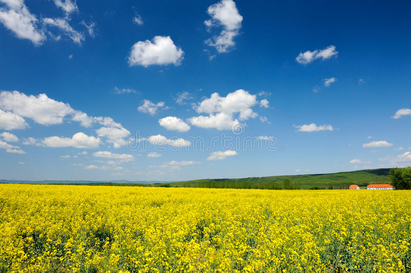 Canola Field. Wide meadow of yellow flowers of rapeseed stock image
