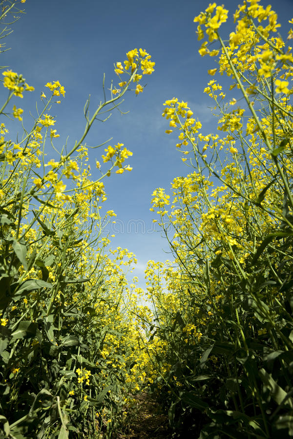Download Canola field stock photo. Image of canola, plant, brassica - 24819496