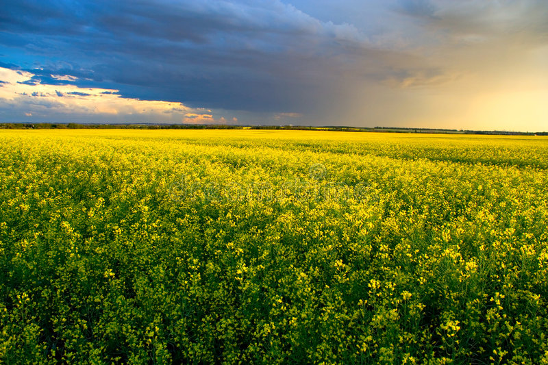 Download Canola Field stock image. Image of agriculture, field, storm - 502199