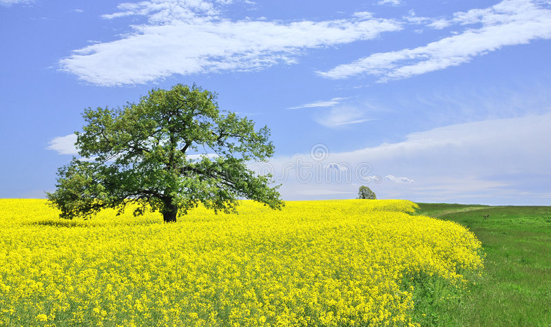 Canola field. Golden canola field with trees, Bulgaria royalty free stock image