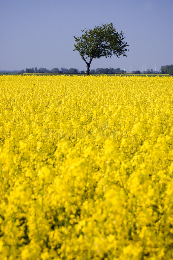 Download Canola Field stock photo. Image of canola, landscape, yellow - 9348106
