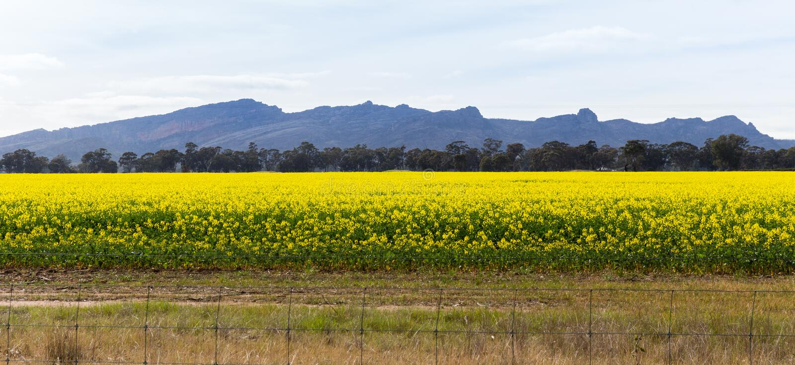 Canola field against mountains. View of canola field against mountains (Grampians royalty free stock photos