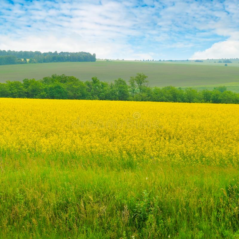 Canola field and blue sky with light clouds. Agricultural landscape royalty free stock images