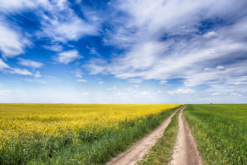 Canola field and blue sky royalty free stock photography