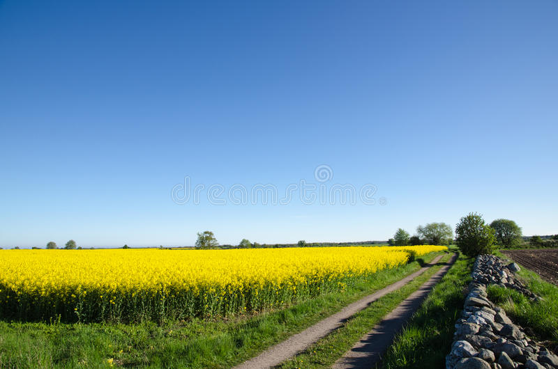 Download Canola field stock image. Image of environment, spring - 40780365