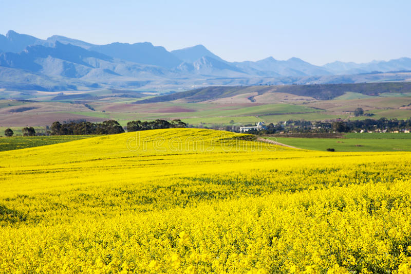 Canola field, Garden Route, South Africa stock photo