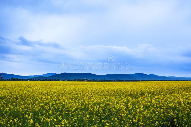 Canola field landscape. At dawn royalty free stock photos