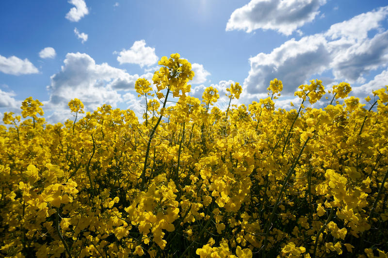 Canola field. With canola oilseed and yellow flowers. Blue cloudy sky. Spring time stock photography