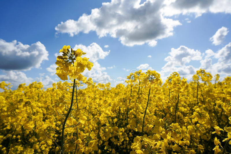 Canola field. With canola oilseed and yellow flowers. Blue cloudy sky. Spring time stock photo