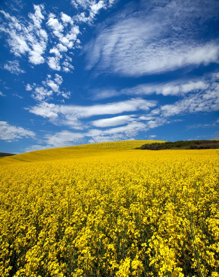 Canola field in the Palouse stock photos