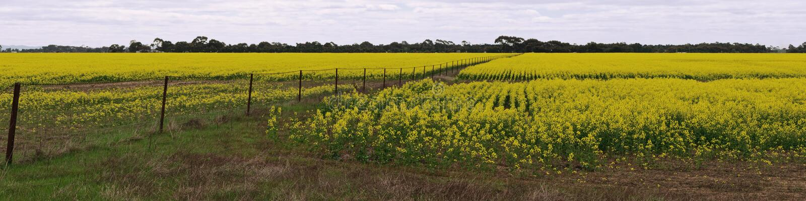 Download Canola field panorama stock image. Image of field, canola - 26714725
