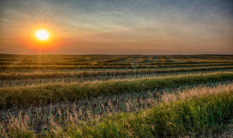 A canola field in rows royalty free stock image