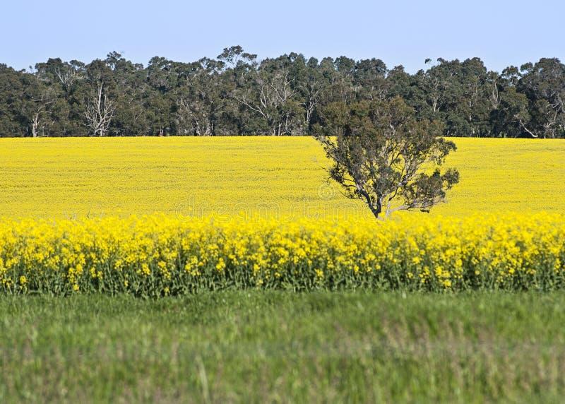 Canola field in South West Australia. Canola or fields in South West Australia, in the Mount Barker/ Albany/ Denmark region stock photos