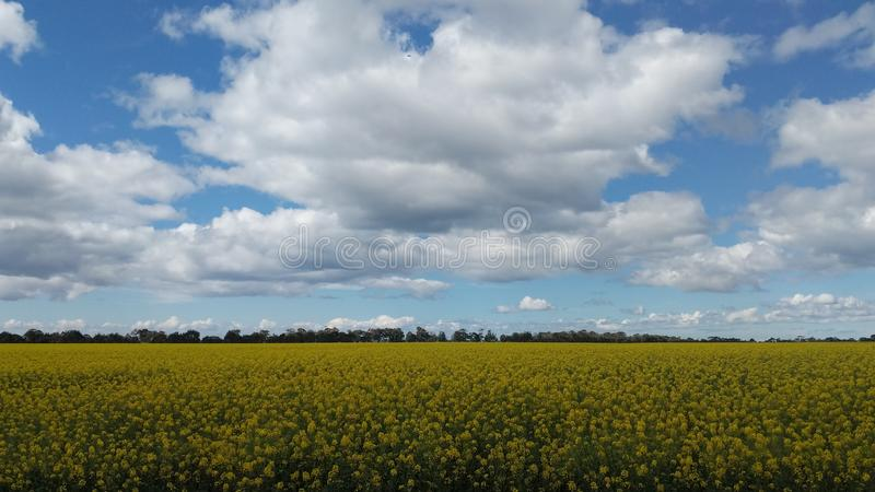 Canola field in spring stock image