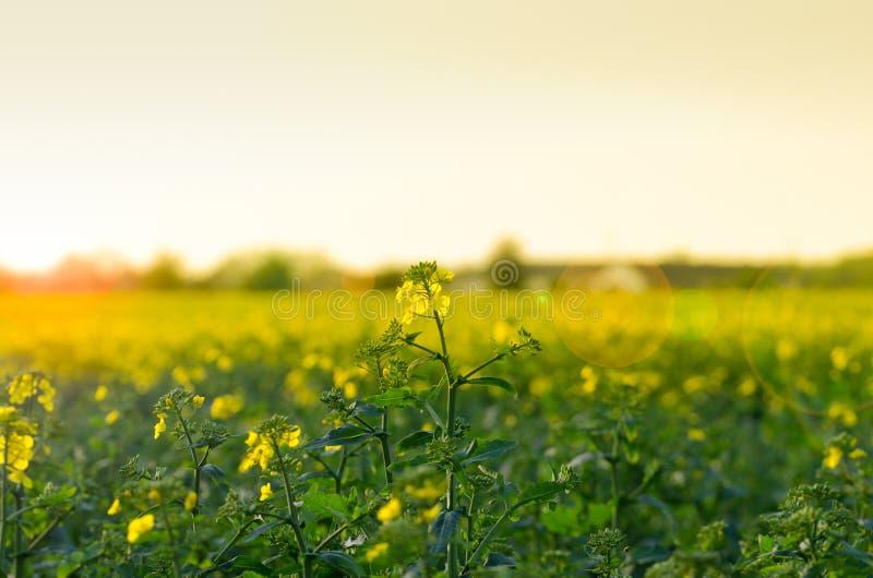 Canola field stock photography
