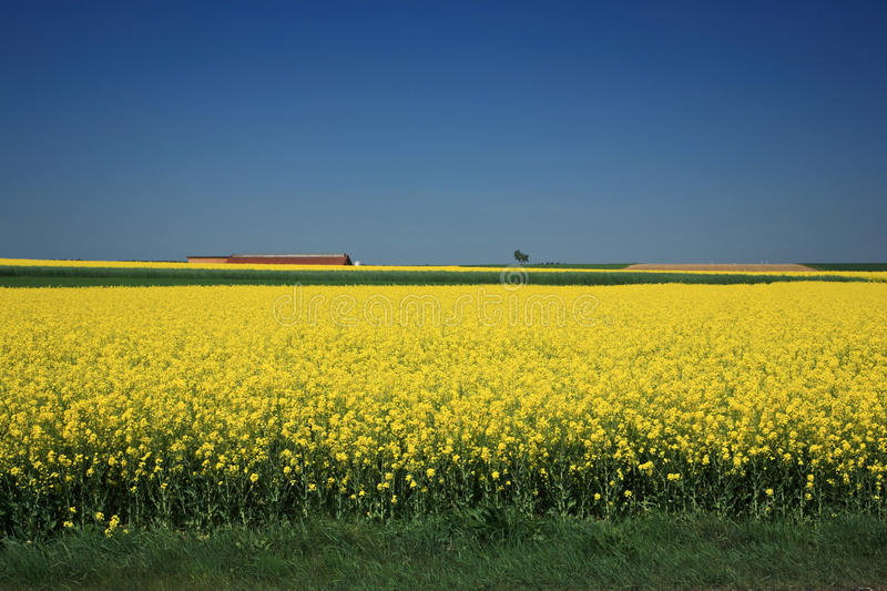 Canola Fields stock photos