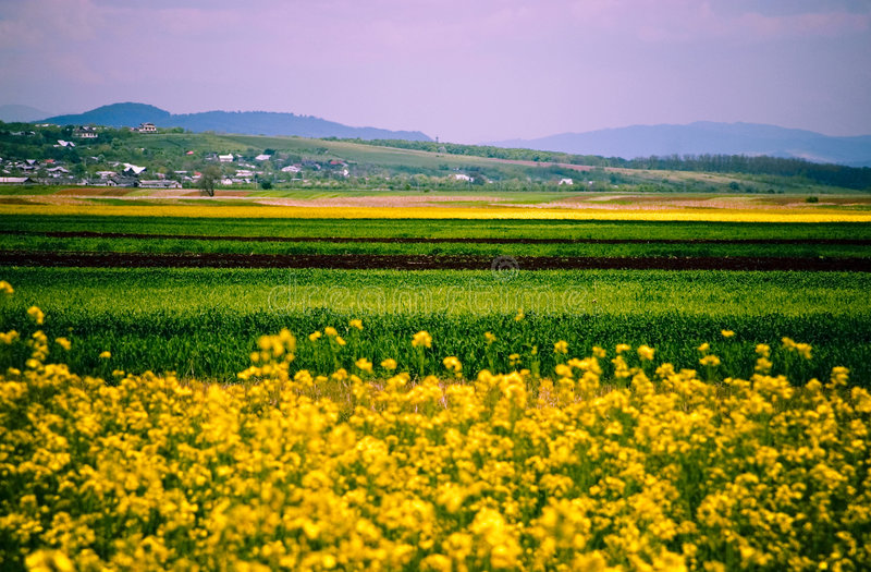 Download Canola Fields Royalty Free Stock Images - Image: 2834699