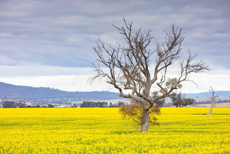 Canola Fields Próximo a Smeaton em Victoria Austrália fotos de stock