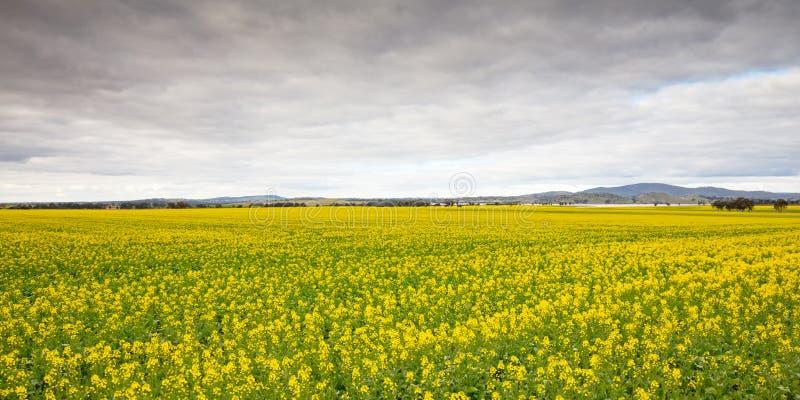 Canola Fields Próximo a Smeaton em Victoria Austrália fotos de stock royalty free